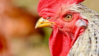 Roban gallos de pelea valorados en más de $60 mil