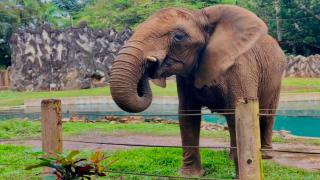 Imagen básica | elefante Mundi, Zoológico de Mayagüez