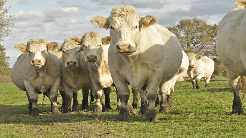 Reportan robo de vacas en Corozal