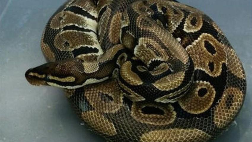 ball python holbrook1