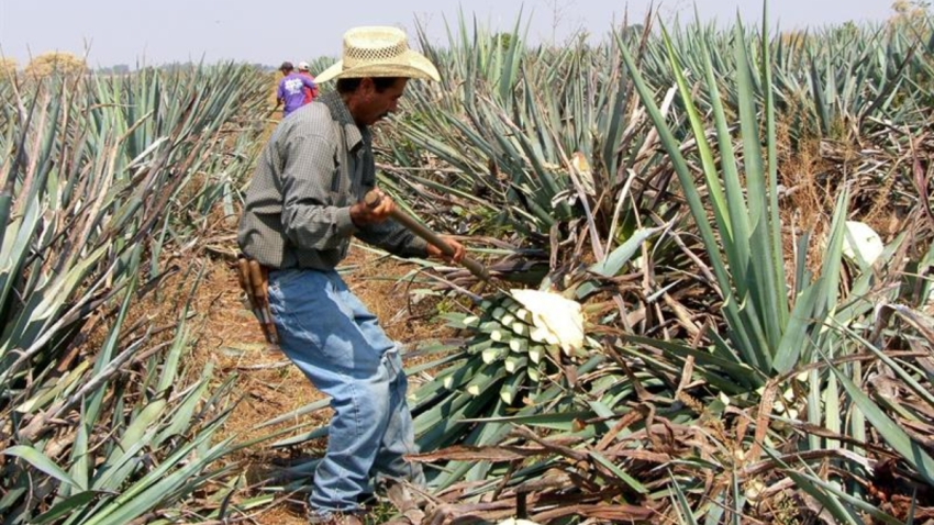 mexico-jalisco-campo-agavero