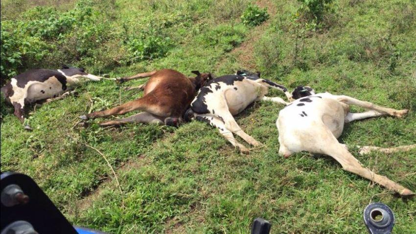 vacas_electrocutadas_2342