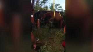 Empleados de la Oficina Municipal para el Manejo de Emergencias y Obras Públicas de Las Piedras efectúan el rescate de un caballo.