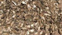 Increíble: peligrosa plaga de ratones acecha granjeros