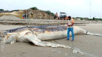 Entierran a ballena jorobada en estado de descomposición varada en playa de Ecuador