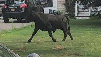 Se escapó de un matadero: toro de 1,500 libras tiene varios días suelto en vecindario de Nueva York