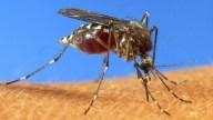 tlmd_mosquito_aedes_aegypti_virus_chikungunya