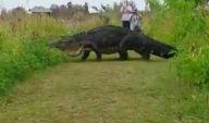 Gigantesco caimán se le cruza en el camino