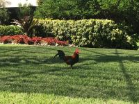 El hermoso gallo ahora alegra las mañanas de los empleados del canal.