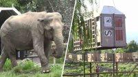 Una elefanta de 60 años de edad, y 5 toneladas de peso, que sufrió años de maltrato en un circo, ha sido trasladada a un santuario en...