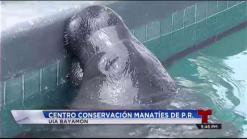 Liberarán dos manatíes del Centro de Conservación