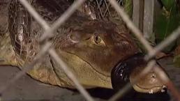 Capturan caimán en la avenida Kennedy