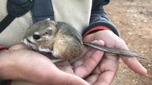 Rata canguro de San Quintín nuevamente en peligro de extinción