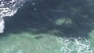 En video: increíble avistamiento de tiburones con hambre