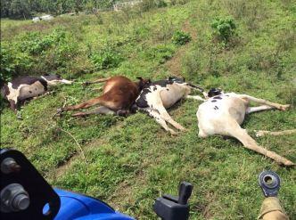 Mueren electrocutadas cuatro vacas en Arecibo
