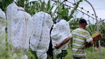 Evalúan medidas ante amenaza de peligroso hongo