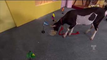 Cabra predice el ganador del Mundial en Alexandra
