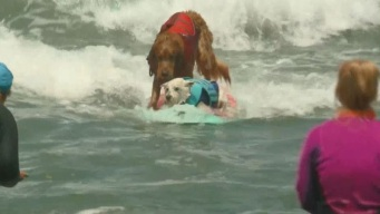Perros surfistas se lucen en adorable competencia