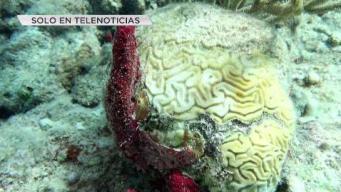 Detectan en Puerto Rico enfermedad que afecta corales