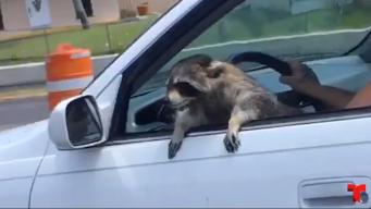 """Viral: mapache que """"se cree perro"""" y que se salvó de morir"""