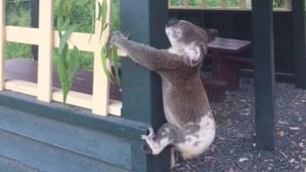 Investigan muerte de koala que apareció clavado en un poste