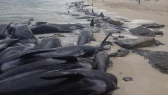 Logran rescatar a solo cinco de 150 ballenas varadas