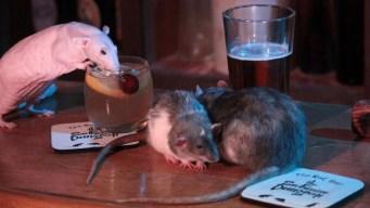 Bar ofrece tocar y acariciar ratas por 50 dólares