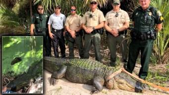 """En video: capturan a enorme caimán """"comeperros"""""""