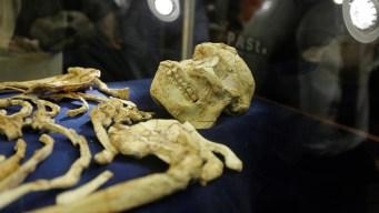 Muestran esqueleto humano de 3.6 millones de años