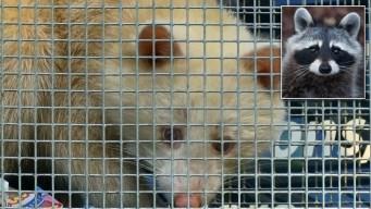 Fenómeno de la naturaleza: capturan a mapache albino