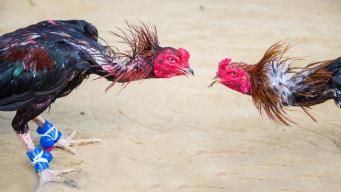 Medida protege la permanencia de las peleas de gallos