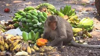 La ciudad donde los monos viven como reyes