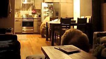 En video: osos se meten en casa y abren el refrigerador