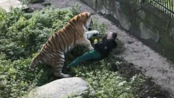 Escena de pánico cuando tigre ataca a cuidadora
