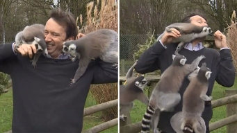 En video: lémures acosan a periodista durante un informe