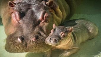 """Buscan a hombre tras """"nalgada"""" a hipopótamo"""