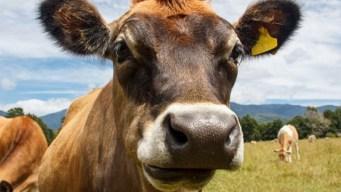 Roban 22 toros y vacas de hacienda en Vega Alta