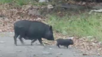 Plaga de cerdos vietnamitas en San Juan llega a Bayamón
