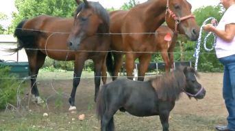 Conoce a Durango, ¿el caballo más pequeño del mundo?