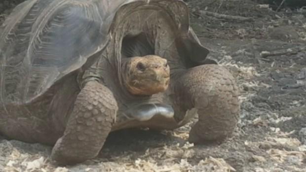 Reaparece tortuga dada por extinta hace 150 años