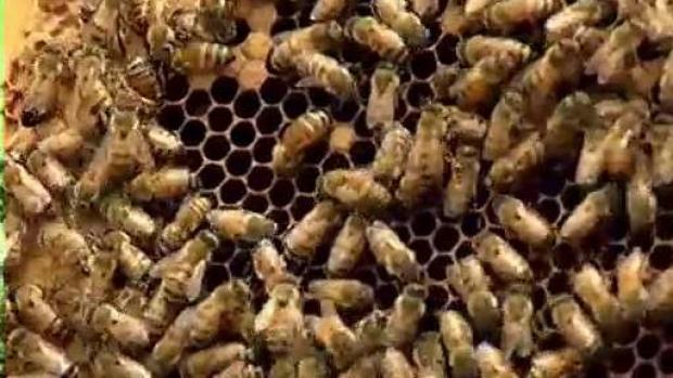 [TLMD - PR] Lanzan campaña para proteger las abejas de miel en Puerto Rico