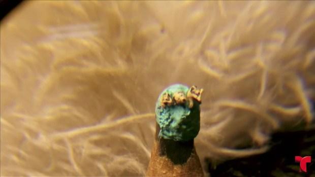 [TLMD - NATL] Perros microscópicos, los más pequeños del mundo