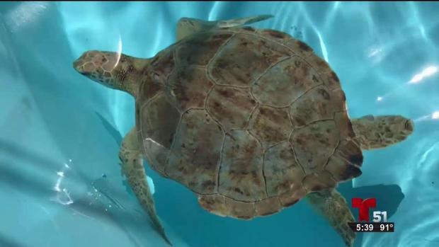 [TLMD - MIA] Prohíben los globos inflables por las tortugas marinas