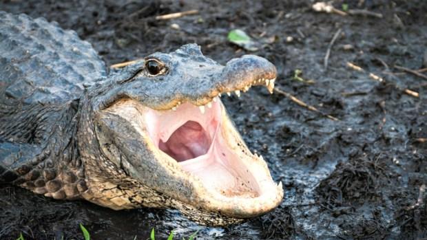 Macabro hallazgo: encuentran a tres caimanes decapitados