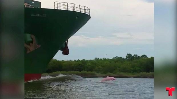 [TLMD - MIA] Viral: delfín rosado nada intrépido frente a barco en marcha