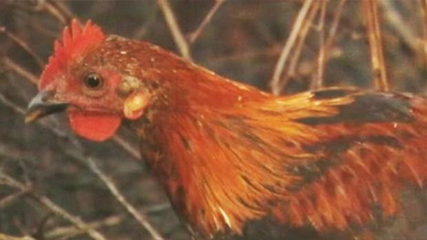 Feroz animal ataca decenas de gallinas en Aibonito