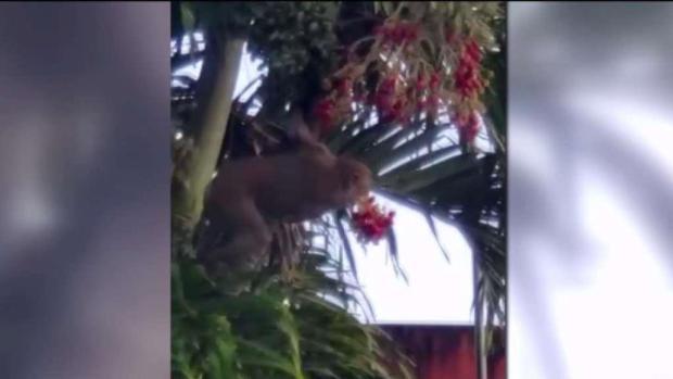 [TLMD - PR] Atemorizados vecinos de Carolina ante presencia de monos