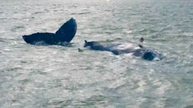 Imágenes de ballena varada en Nueva York