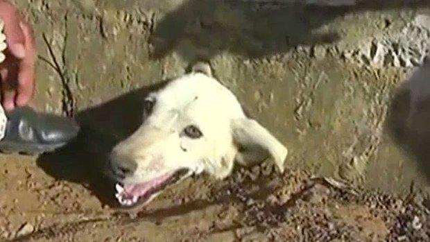 La odisea de una perrita atrapada en una alcantarilla
