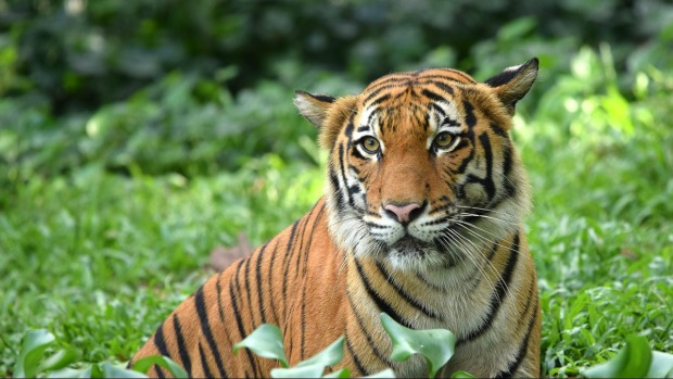 Por 1era vez en 100 años, hay más tigres silvestres